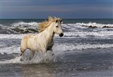 Camargue Horse in the Surf