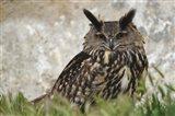 Eagle Owl, France