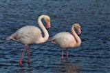 Greater Flamingo bird, Camargue, France