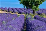 Lavender Tree, France