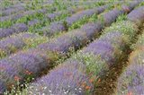Rows of Lavender in France