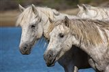 Camargue Horses Run through Water