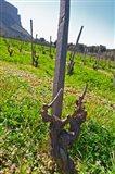 Vineyard Below the Cassis Cliff