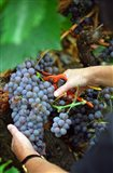 Vineyard Worker Harvesting Grenache Noir Grapes