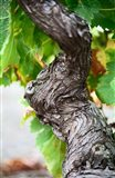 Branch of Old Vine with Gnarled Bark