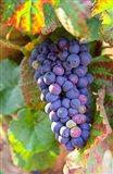 Pinot Noir vineyard, Chambertin