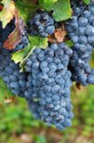 Chateau Carignan, Merlot Grape Vineyard