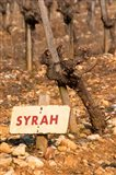 Syrah Vine and Sign at La Truffe de Ventoux Truffle Farm
