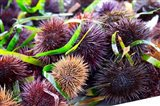 Street Market Stall with Sea Urchins Oursin, France