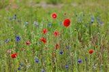 Poppies, Dunkerque