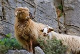 Greece, Crete, Lasithi, Wild Sheep, Kavousi Gorge