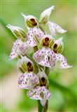 Orchid in bloom, Crete, Greece