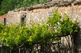 Vineyard Detail, Assos, Kefalonia, Ionian Islands, Greece