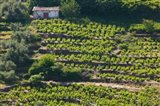 Greece, Aegean Islands, Samos, Vourliotes Vineyard