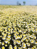 Chamomile Field (Matricaria Chamomilla), Hortobagy National Park In Spring Hungary