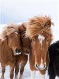 Icelandic Horses With Typical Thick Shaggy Winter Coat, Iceland 12