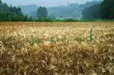 Italy, Tuscany, Wheatfield