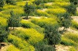 Olive Trees, Provence of Granada, Andalusia, Spain