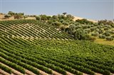 Spain, Andalusia, Cadiz Province Vineyard Field and Olive Grove
