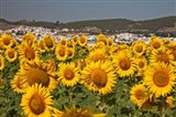 Spain, Andalusia, Cadiz Province, Bornos Sunflower Fields