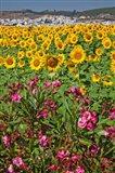 Spain, Andalusia, Cadiz Province, Bornos Sunflower Fields