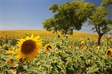 Spain, Andalusia, Cadiz Province Trees in field of Sunflowers