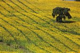 Spain, Andalusia, Cadiz Province Lone Tree in a Field of Sunflowers