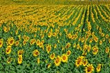 Spain, Andalusia, Cadiz Province Sunflower Fields