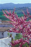 Flowering Cherry Tree and Whitewashed Buildings, Ronda, Spain