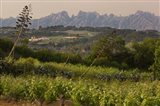 Vineyards and Cactus with Montserrat Mountain, Catalunya, Spain