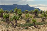 Vineyard along the San Vicente to Banos de Ebro Road, La Rioja, Spain