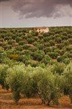 Olive Groves, Jaen, Spain