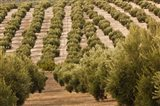 Olive Groves, Jaen, Spain