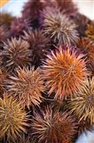 Sea Urchins For Sale, Cadiz, Spain