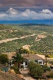 Olive Groves, Ubeda, Spain