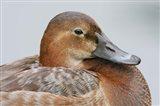 England, London, Pochard Duck