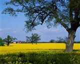 Rape Seed Field, Billinghurst, Sussex, England