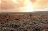 Heather, near Danby, North York Moors, England