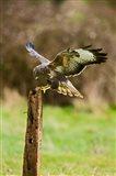 UK, Common Buzzard bird on wooden post