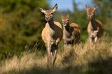 UK, England, Red Deer, Hinds on heathland