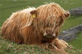 Highland cow, Farm animal, North Yorkshire, England