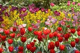 Tulips in St James's Park, London, England, United Kingdom