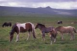 Horses of Dartmoor, Devon, England