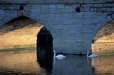 Swans in River, Stratford-on-Avon, England