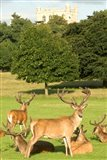 English red deer stags, Nottingham, England