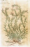 Ageratum Seventeenth-Century Engraving In Bibliotheca Pharmaceutica-Medica