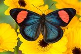 Painted Beauty Butterfly From The Amazon Region