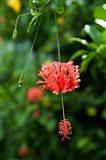 Coral Hibicus flower, Taveuni, Fiji
