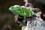 Fiji Crested Iguana, Kula Eco Park, Viti Levu, Fiji