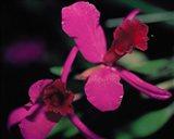 Magenta Orchid, Fiji